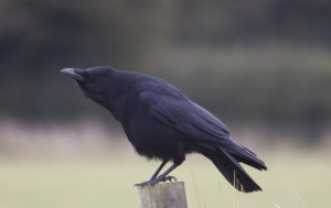 Francesca Chaouqui corvo